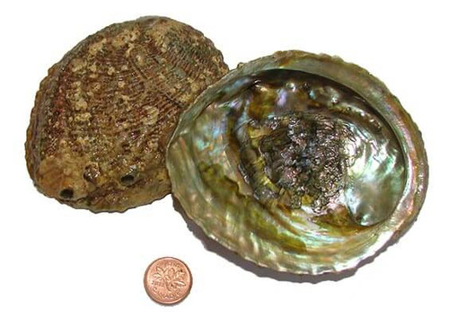 3-1/2 to 4 inch small abalone shells