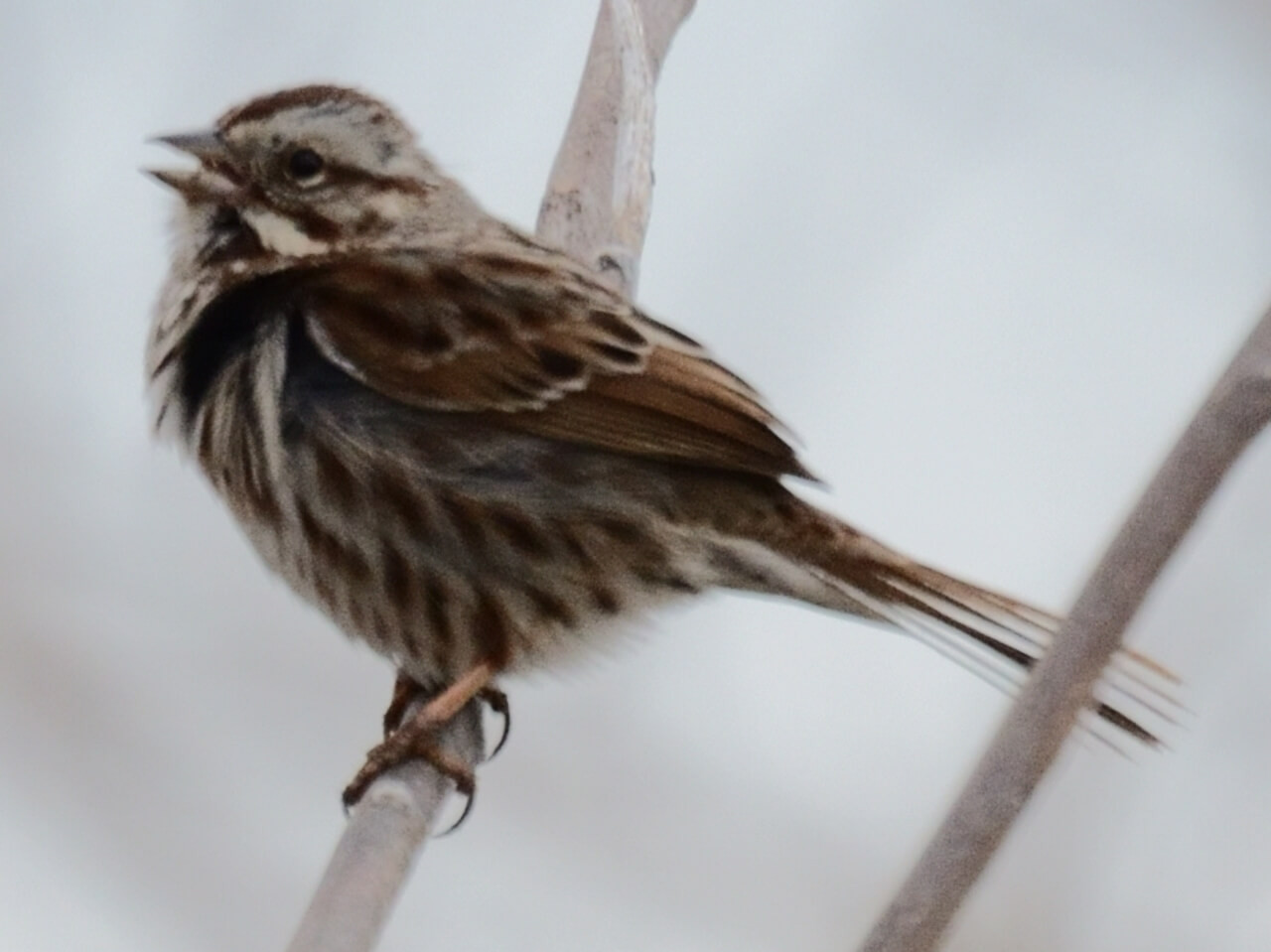 How to Get Song Sparrows to Nest in Your Yard