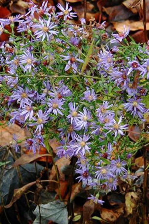 Aster cordifolius (Blue Wood Aster) - Plugs