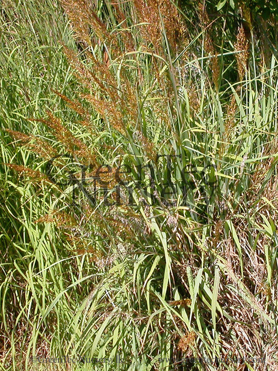 Sorghastrum nutans (Indian Grass) - Plugs