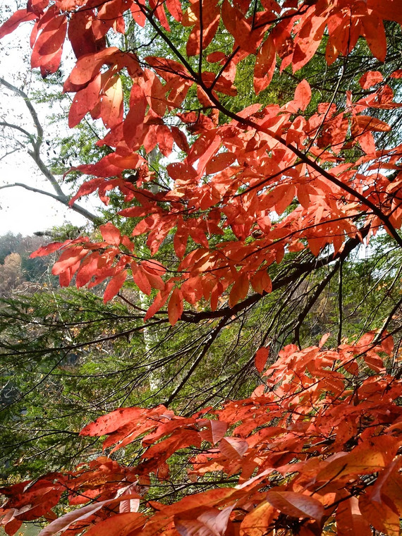 Sourwood tree in full fall color, growing on the hills above the Cumberland River Cumberland Falls State Resort Park - Corbin, Kentucky