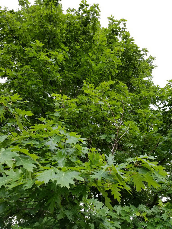 Mature Northern Red Oak (Quercus rubra) at GreenTec Nursery - approx. 40 years old