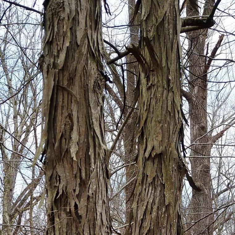 Carya ovata (Shagbark Hickory) bark