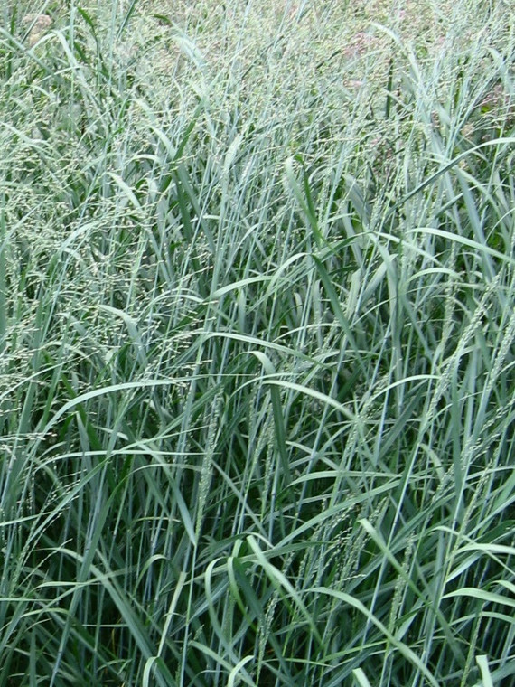 Panicum virgatum (Switchgrass) - Plugs