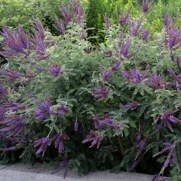 Amorpha canescens (Lead Plant) in full bloom