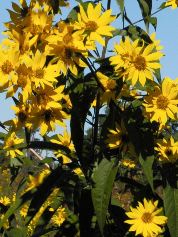 Helianthus grosseserratus (Saw-Tooth Sunflower) - 1 Qt Super Plugs