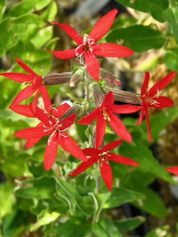 Silene regia (Royal Catchfly) - Plugs