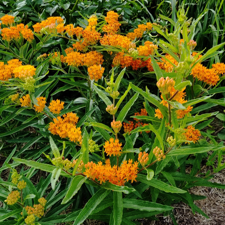 Asclepias tuberosa (Butterfly Weed) in bloom in Central Indiana in June