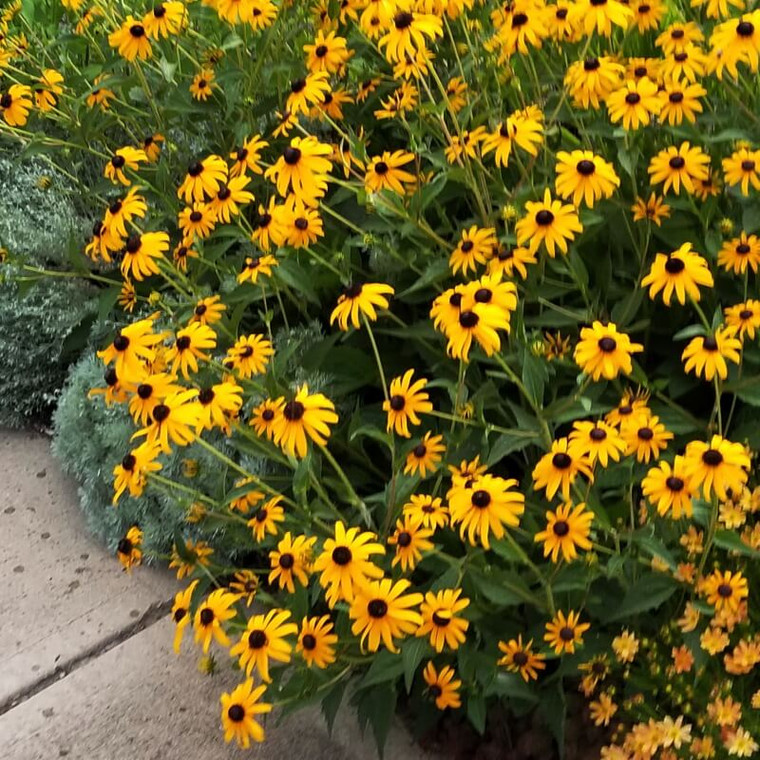 Goldsturm Rudbeckia in full bloom, shown with Coreopsis 'Moonbeam' and Artemisia 'Silver Mound'
