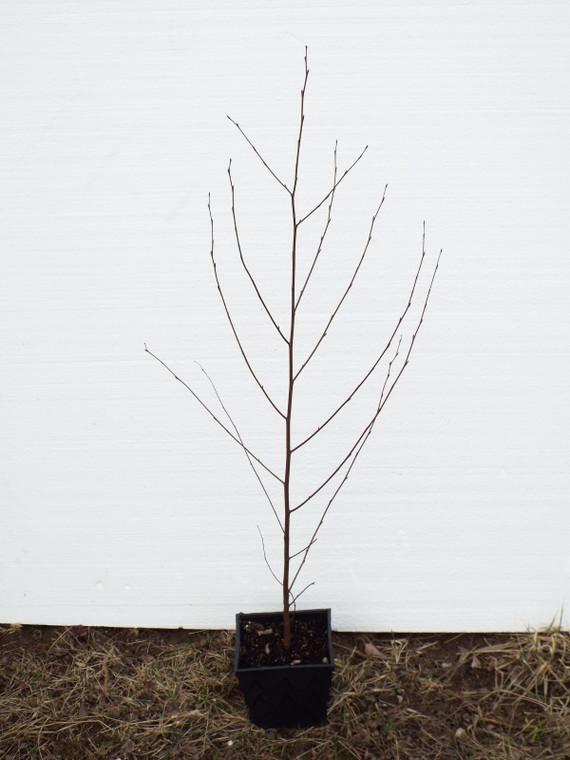 1 Gallon Sweet Birch - Grown by GreenTec Nursery