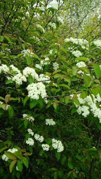 Blackhaw Viburnum at the edge of a dry oak forest in Central Indiana