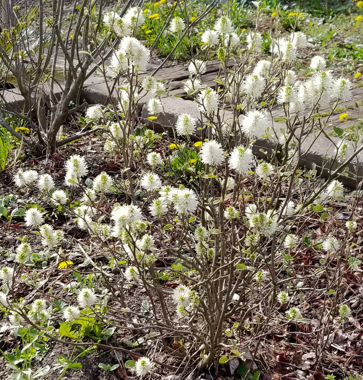 Fothergilla major in full bloom, late April in Central Indiana at GreenTec Nursery