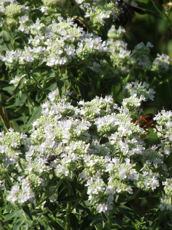 Pycnanthemum pilosum - hairy mountain mint Grown at GreenTec Nursery