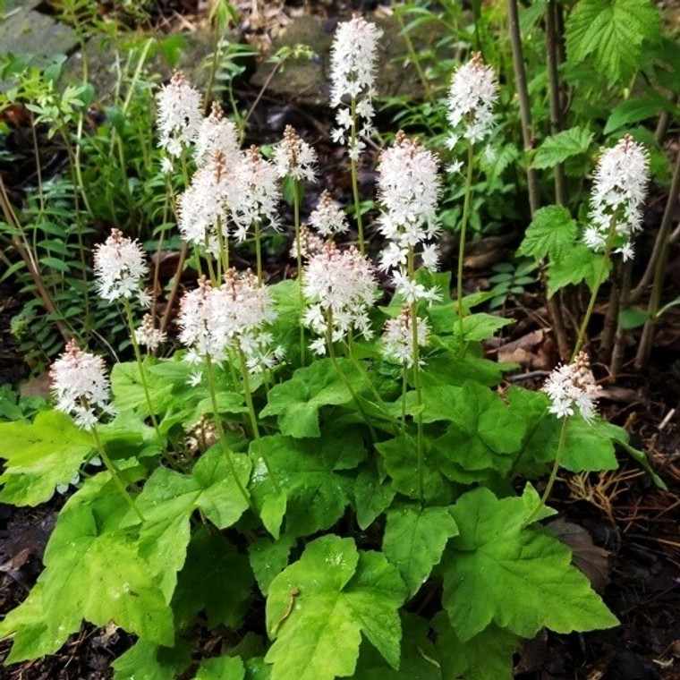 Silverado Foamflower (Tiarella wherryi 'Silverado') is a free-flowering clumping foamflower.  Cold-hardy and