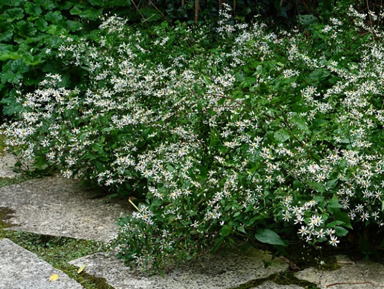Aster divaricatus - White Wood Aster - Mature Plant Courtesy Knoll Gardens/UK