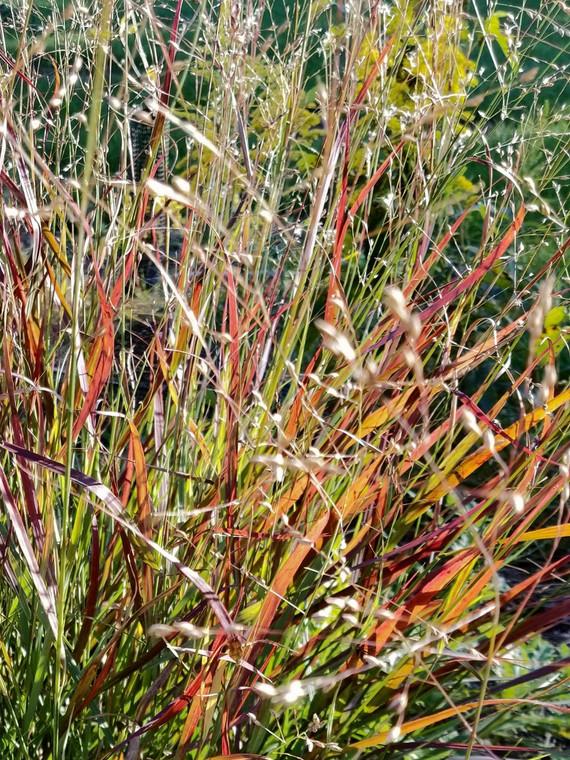 Close up shot of Shenandoah Switch Grass (Panicum virgatum 'Shenandoah'), in residential landscape