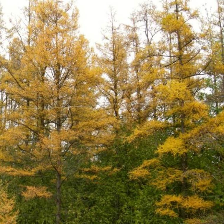 Tamarack (Larix laricina) trees in Autumn