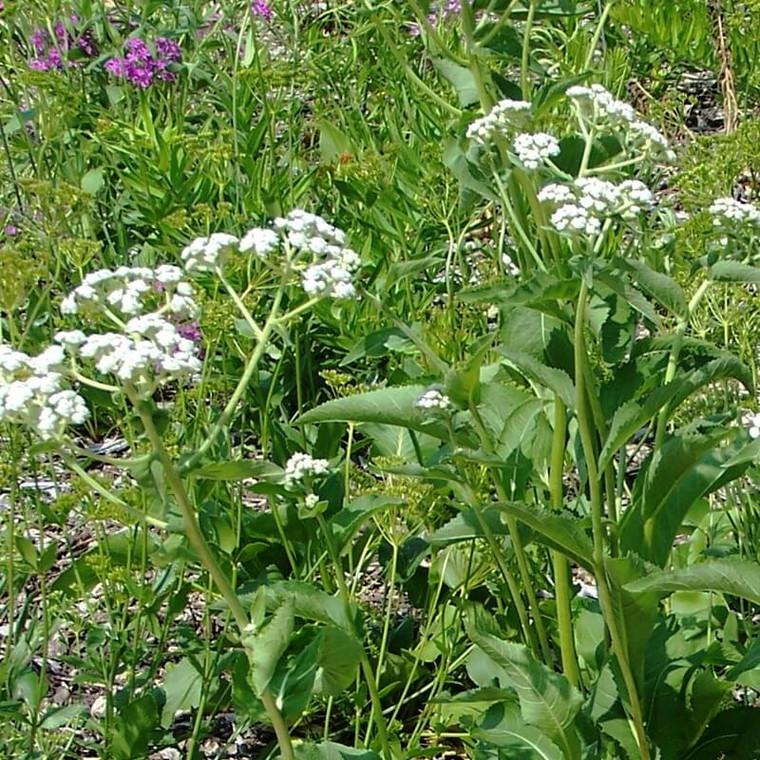 Parthenium integrifolium (Wild Quinine)