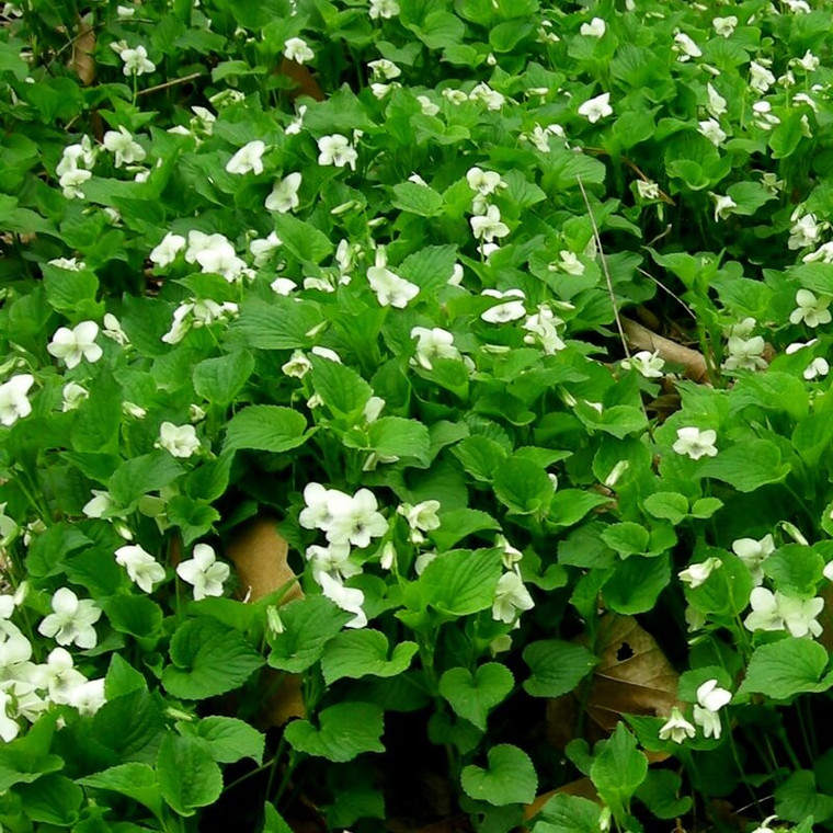 Striped Cream Violet (Viola striata) is an excellent, white-flowered groundcover for shady woodland sites.   Provides a continuous, weed-eliminating groundcover and spreads quickly by seed.