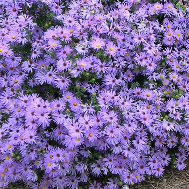'Raydon's Favorite' Aromatic Aster (Aster oblongifolius 'Raydon's Favorite') makes an excellent massing plant.  Forms a nice compact habit, erupting into bloom in the Fall with flowers covering the whole plant.