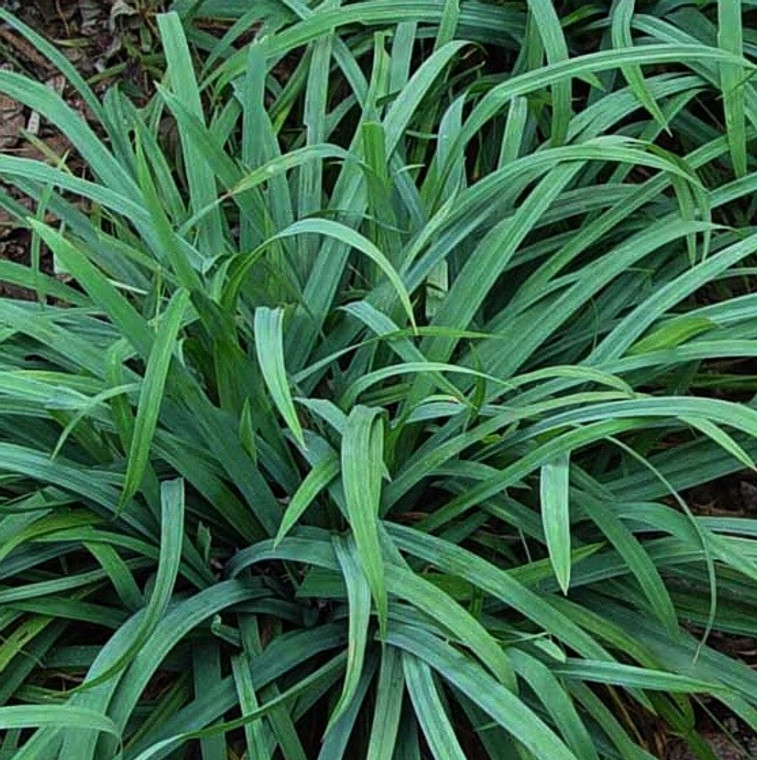 Blue Wood Sedge (Carex flaccosperma) is an excellent blue-hued clump sedge for shade.  Combines well with Waldsteinia fragarioides for a nice layered planting.