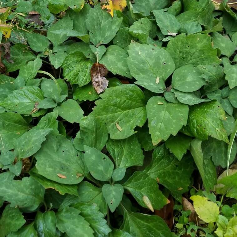Allegheny Spurge (Pachysandra procumbens) is an excellent replacement for the invasive Japanese pachysandra.  Our native Pachysandra offers fragrant early-spring flowers, and grows in a nice slowly spreading clump.