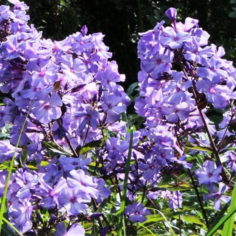 Phlox paniculata 'Blue Paradise' Garden Phlox is a sweetly-scented, long blooming perennial native to North America.  The plants bloom over much of the summer, attracting butterflies.