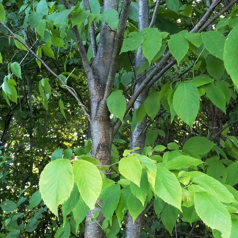 Hophornbeam (Ostrya virginiana) trunk & habit - Small Tree Shown