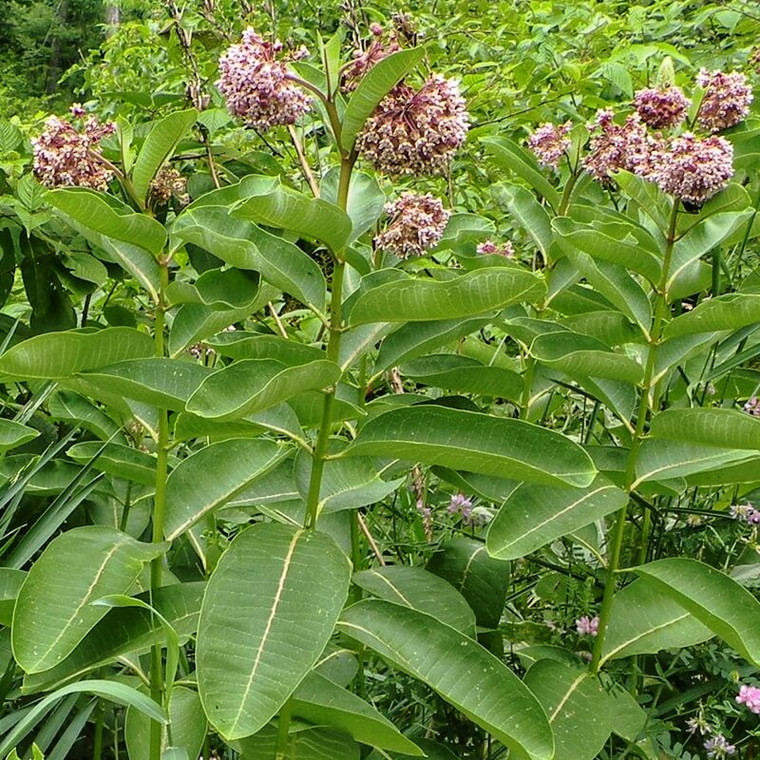 Common Milkweed (Asclepias syriaca) is an easy-to-grow native wildflower that supports Monarch Butterfly larvae.
