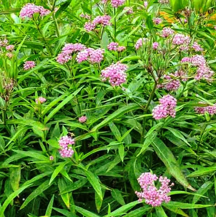 Rose Milkweed (Asclepias incarnata) is a free-flowering milkweed species that does not spread; ideal for small gardens for supporting Monarch Butterfly larvae.