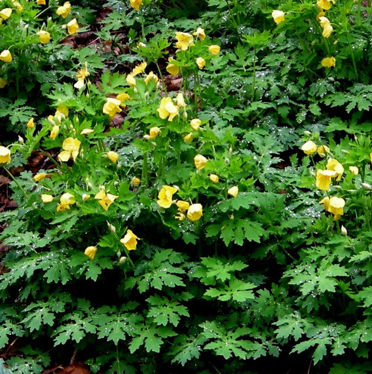 Celandine poppy, also known as Wood Poppy (Botanical name Stylophorum diphyllum), makes an excellent plant for naturalized woodland gardens.