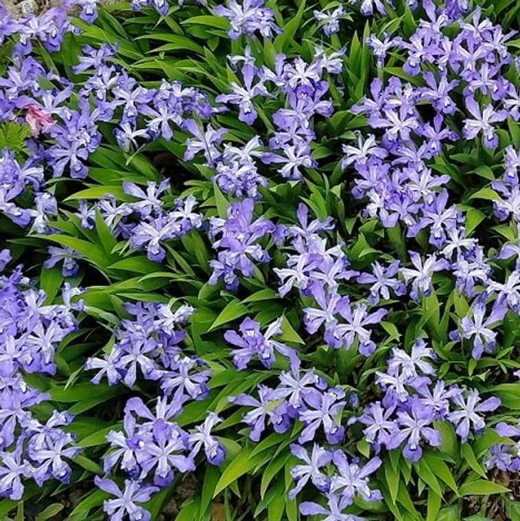 'Powder Blue Giant' Crested Iris (Iris cristata 'Powder Blue Giant') is a vigorous woodland iris native to Eastern North America.  Sky-blue flowers in early Spring are followed by a persistent groundcover of interesting sword-like foliage for the summer.