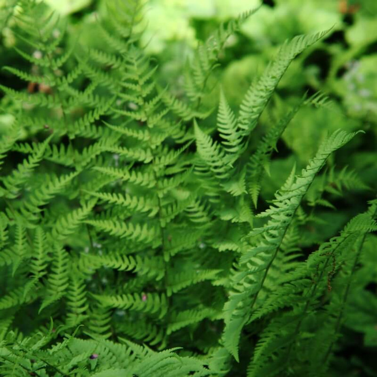 Shield Fern (Dryopteris marginalis) is a tough, dependable native evergreen fern.  Great for shady, difficult sites.