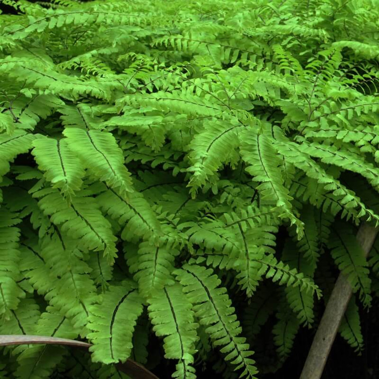 Maidenhair fern (Adiantum pedatum) is a beautiful, delicate-looking fern.  Great for woodland gardens with calcium-rich soils.