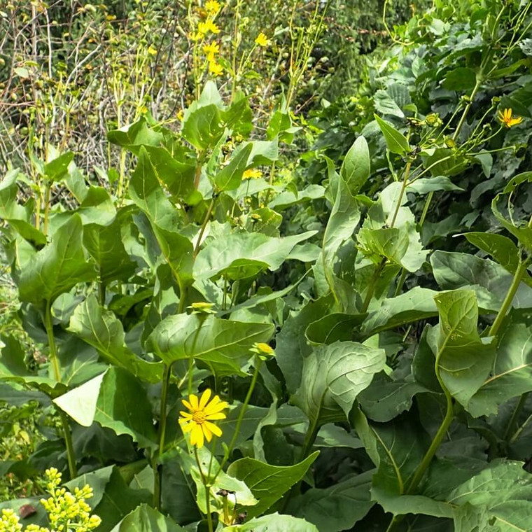 Cup Plant (Silphium perfoliatum) is a great native meadow and prairie plant for informal gardens in full sun.