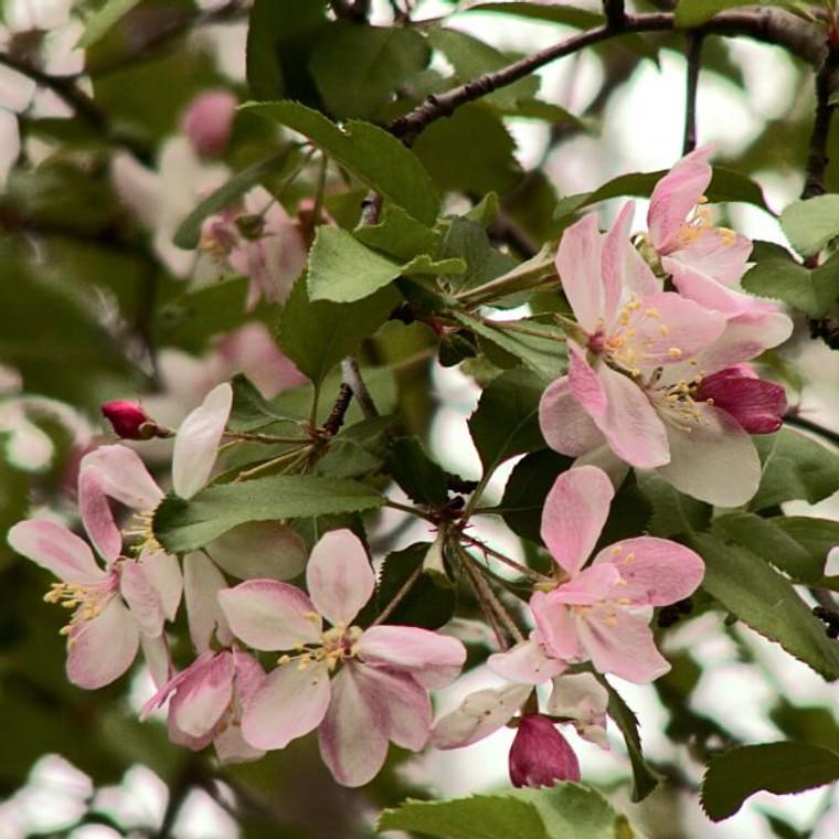 Sweet Crabapple (Malus Coronaria) Blossoms