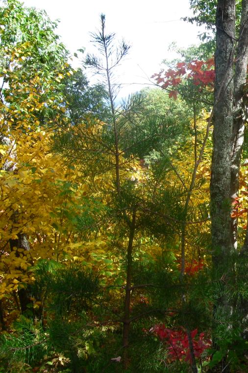Young Pitch Pine (Pinus rigida) sapling along Rich Mountain trail in Great Smoky Mountains NP