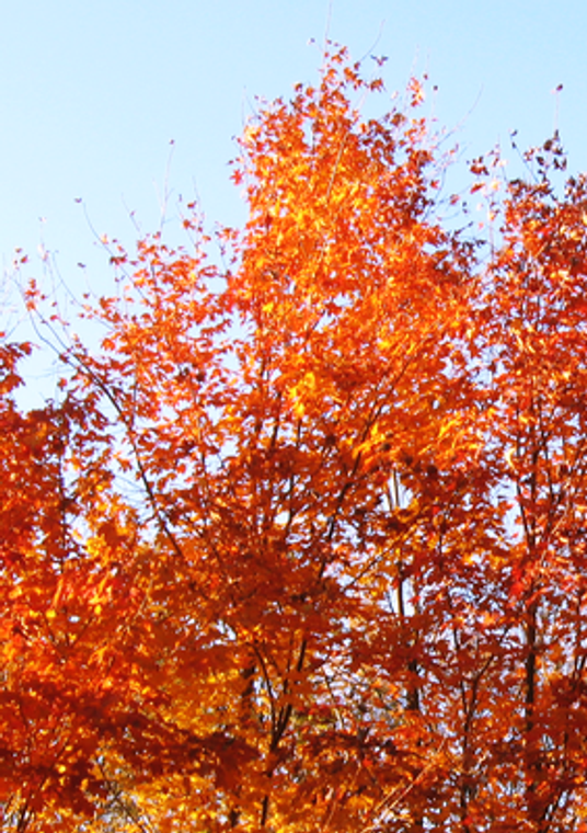 Sugar Maple (Acer saccharum) in Autumn - Central Indiana