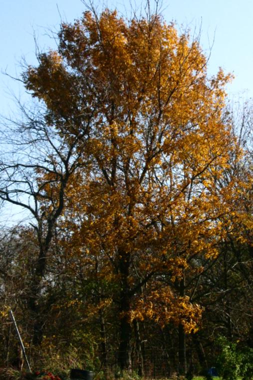 Bitternut Hickory (Carya cordiformis) Autumn Color