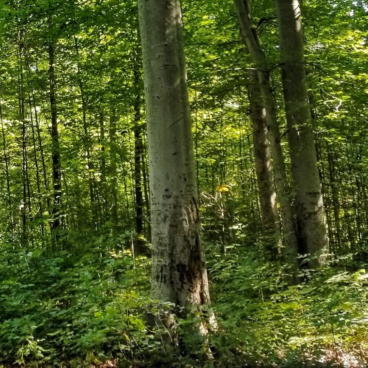 American Beech (Fagus grandifolia) woods