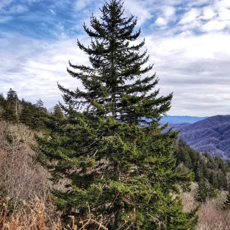 Mature Red Spruce (Picea rubens) in the Great Smoky Mountains near Newfound Gap