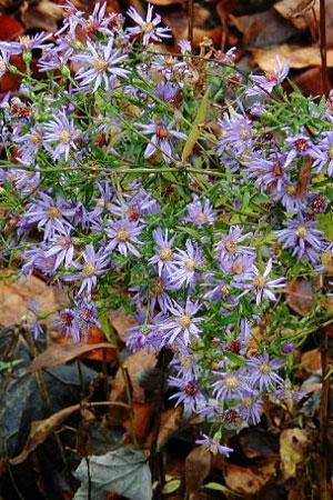 Aster cordifolius 'Avondale' (Avondale Blue Wood Aster) - Plugs