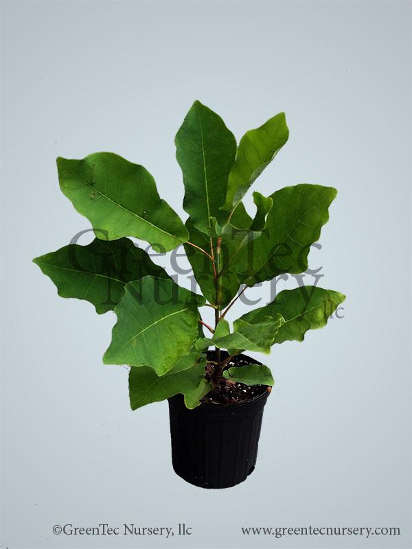 Magnolia Fraseri, Fraser Magnolia - 1 Gallon Plant - GreenTec Nursery