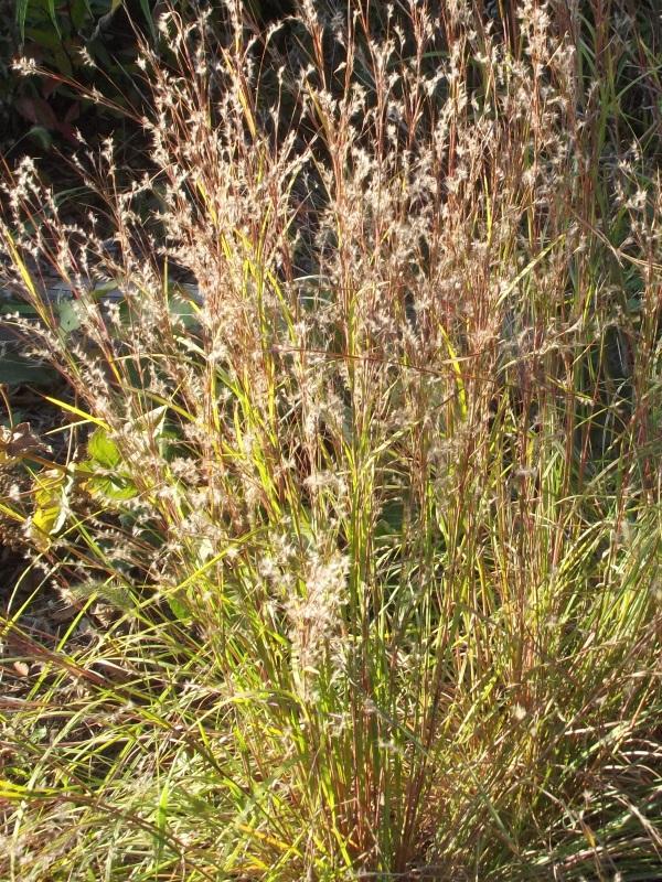 1-Year Old Clump of Little Bluestem (Schizachyrium scoparium) in mid-September, accentuated by afternoon sunlight