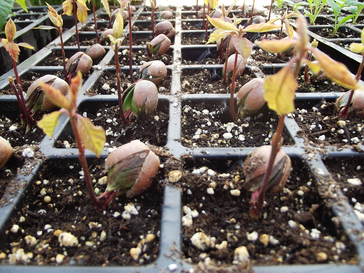 Northern Red Oak (Quercus rubra) sprouting in Rootmaker 32 Cell Plug Flat Trays