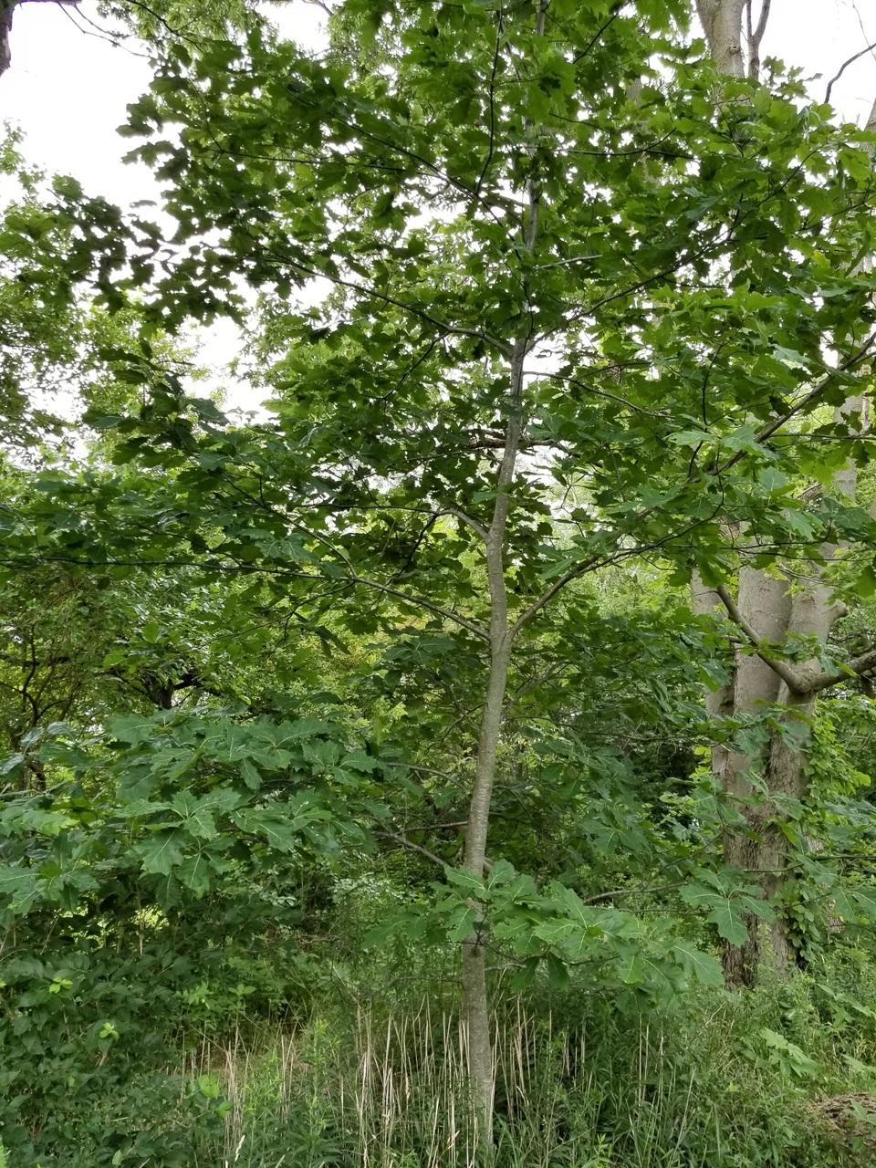 Northern Red Oak sapling along flood plain at GreenTec Nursery