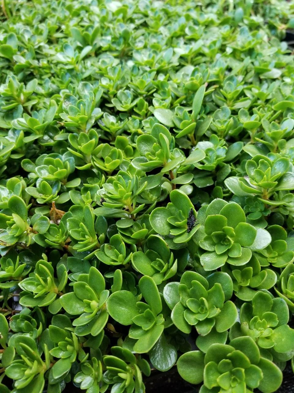 Lush patch of Woodland Stonecrop (Sedum ternatum) at GreenTec Nursery