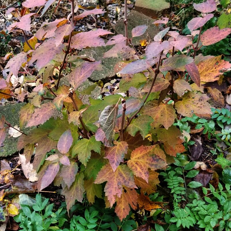 Viburnum acerifolium (Mapleleaf Viburnum) in fall color, shown with Polemonium reptans (Jacob's ladder)
