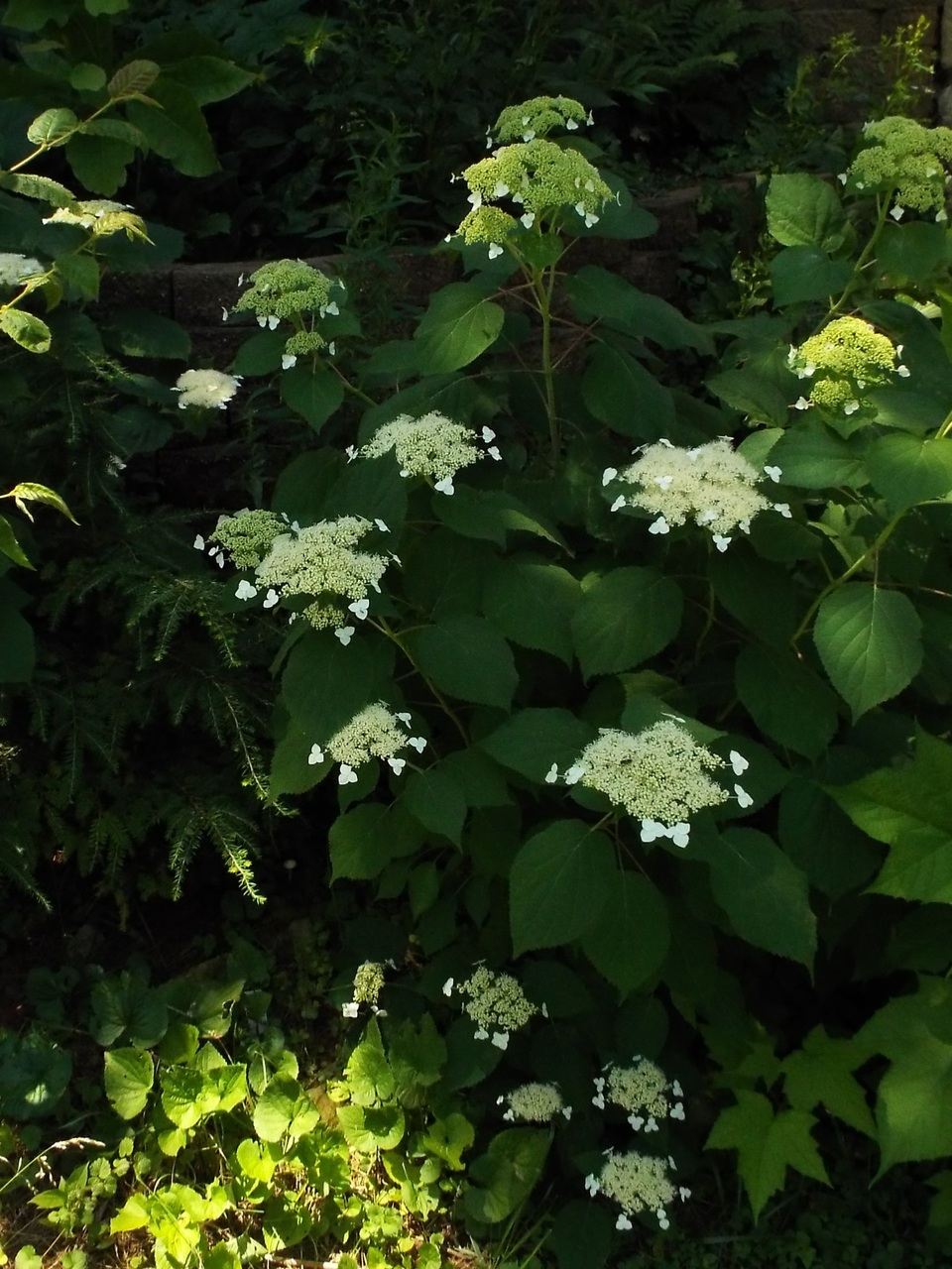 close-up of Wild Hydrangea (Hydrangea arborescens), beginning to bloom in Mid-June in full shade