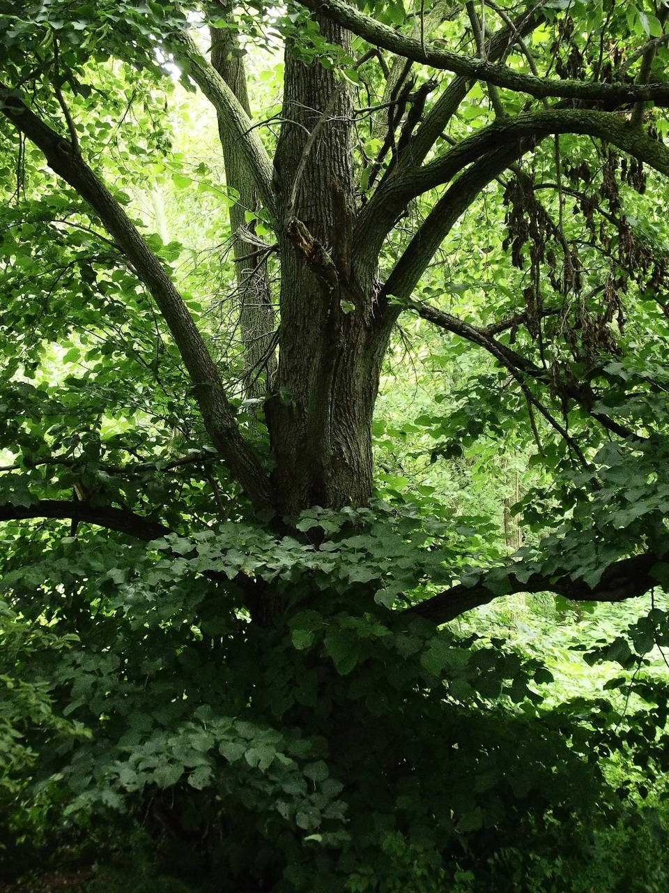 Mature Basswood/American Linden (Tilia americana) behind GreenTec Nursery in Indiana